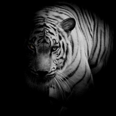 Poster Weißer Tiger auf schwarzem Hintergrund isoliert