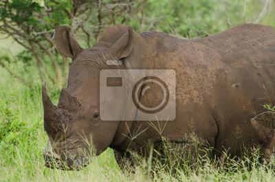 Weißes Nashornporträt