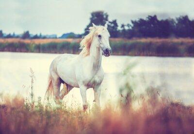 Poster weißes Pferd am Ufer des Sees läuft