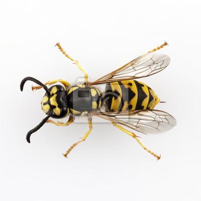 Wespe isoliert