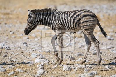 Wet Zebra-Fohlen, Etosha, Namibia