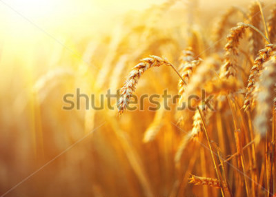 Poster Wheat field. Ears of golden wheat close up. Beautiful Nature Sunset Landscape. Rural Scenery under Shining Sunlight. Background of ripening ears of meadow wheat field. Rich harvest Concept