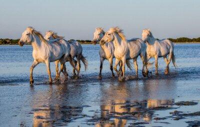 Poster White Camargue Pferde laufen in den Sümpfen Naturschutzgebiet. Parc Regional de Camargue. Frankreich. Provence. Eine ausgezeichnete Illustration