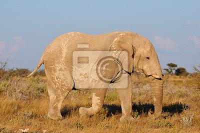 White Elephant, Etosha Nationalpark, Namibia