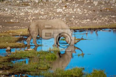 White Nashorn Trinkwasser in Nord-Namibia, Afrika