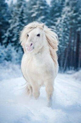 Poster White Shetland Pony läuft im Schnee im Winter