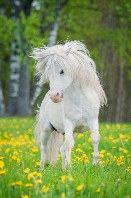Poster White Shetland Pony mit schönen langen Mähne läuft auf dem Feld mit Löwenzahn