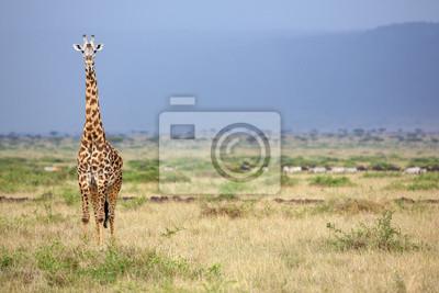 Wild giraffe in the Masai Mara