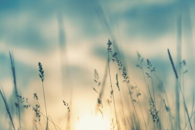 Poster Wild grass in the forest at sunset. Macro image, shallow depth of field. Abstract summer nature background. Vintage filter