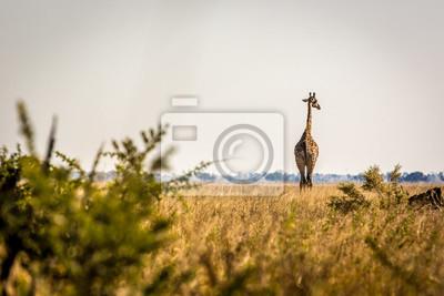 Wilde Giraffe in Savuti, Botswana, Afrika