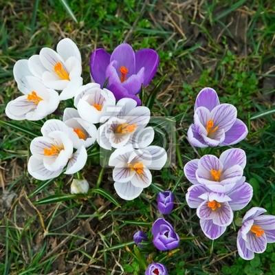 Wilde lila und weißen Blumen Crocus