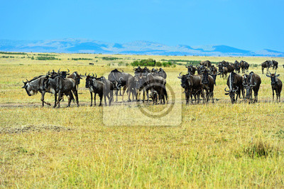 Wildebeest in der wilden afrikanischen Savanne Kenia