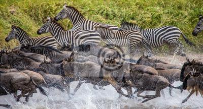 Wildebeests and zebras are running across a small river. Great Migration. Kenya. Tanzania. Maasai Mara National Park.