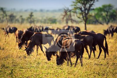 Wildebeests Herde, Gnu auf afrikanischen Savanne. Safari in der Serengeti