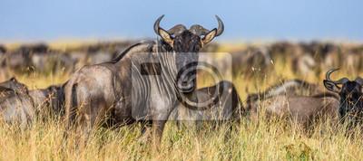 Wildebeests standing in the savannah. Great Migration. Kenya. Tanzania. Maasai Mara National Park.