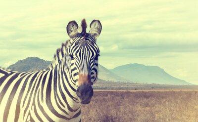 Poster Wildes afrikanisches Zebra. Weinlese-Effekt