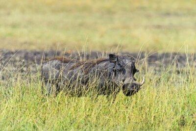 Wildschwein in der Savanne
