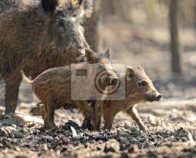 Wildschwein mit Babys