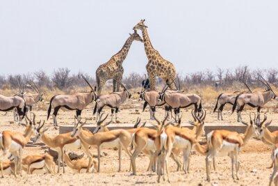 Poster Wildtiere Pyramide mit Giraffen Springböcke und Oryx in der Namibischen Savanne des Etosha Nationalpark in Namibia, Afrika