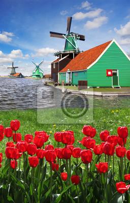 Windmühlen gegen rote Tulpen in den Niederlanden, Zaanse Schans