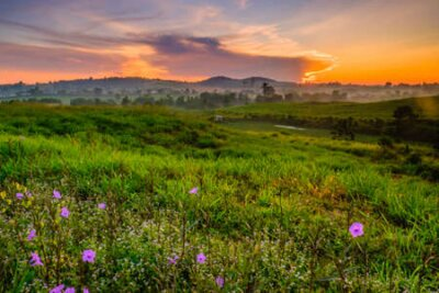 Poster Wonderful Dairy Farm sunrise landscape with blooming Mexican petunia (Ruellia brittoniana)  flowers, sunrise scenery, colorful  scene, and beauty farm.