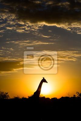 Giraffe siluette at the sunrise in Kenya, África