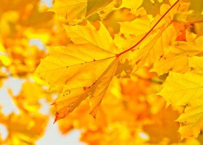 Yellow Herbst Ahorn-Blätter im Sonnenlicht