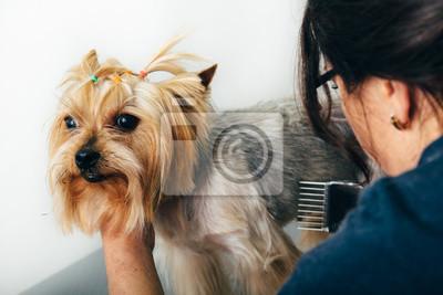 Yorkshire Terrier Im Pflegesalon Grooming Hund Des Groomers