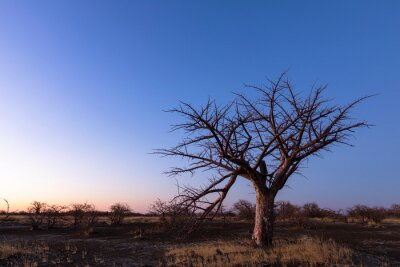 Young baobab tree after sunset