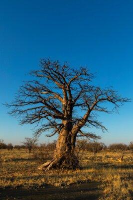 Young baobab tree on Kukonje Island