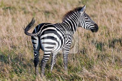 Zebra auf afrikanischen Savanne.