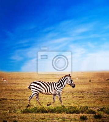 Zebra auf afrikanischen Savanne. Safari in der Serengeti