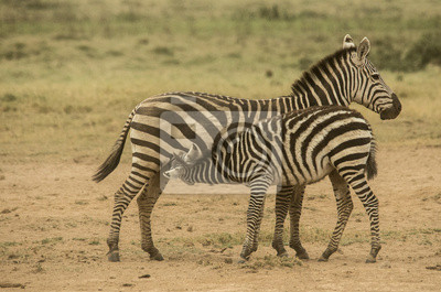 Zebra che allatta