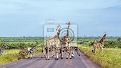Zebra der Giraffe und der Ebenen in Nationalpark Kruger, Südafrika