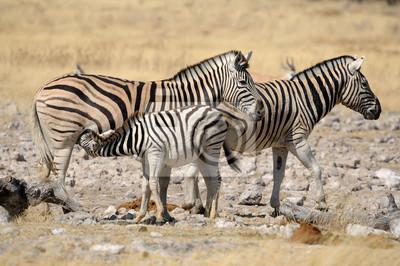 Zebra Fohlen säugen, Etosha, Namibia