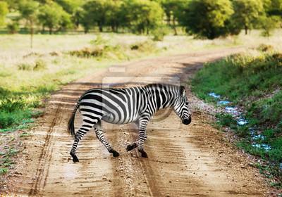Zebra Fuß auf der Straße auf afrikanischen Savanne. Safari in der Serengeti