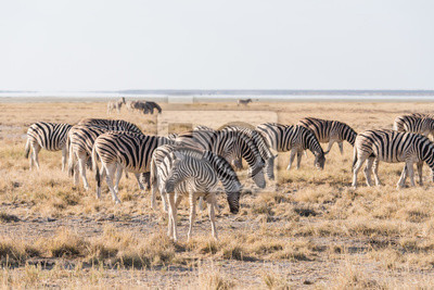 Zebra-Gruppe Etosha