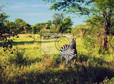 Zebra im Gras auf afrikanischen Savanne. Safari in der Serengeti, Tansania