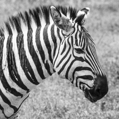 Poster Zebra im Nationalpark. Afrika, Kenia