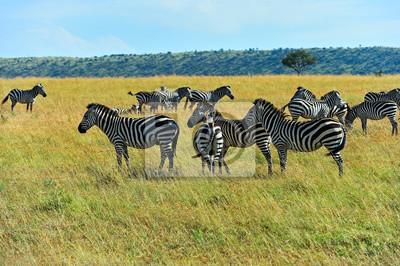 Zebra in der afrikanischen Savanne