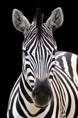 Poster Zebra isoliert auf schwarz