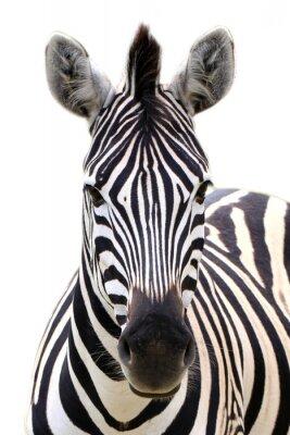 Poster Zebra isoliert auf weiß
