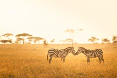 Zebra-Liebe in der Serengeti