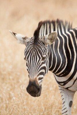 Poster Zebra Porträt, Kruger Park, Südafrika