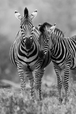 Poster Zebra-Stute und Fohlen in der Nähe stehen zusammen im Busch für die Sicherheit ein