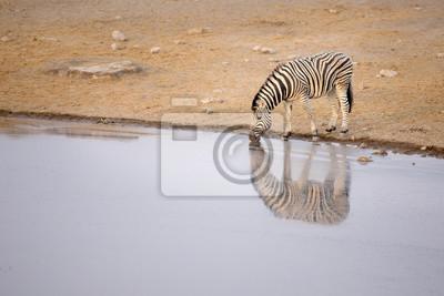 Zebra trinken aus einem Wasserloch