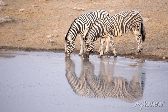 Poster Zebra trinken aus einem Wasserloch