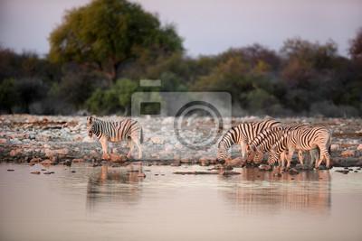 Zebra trinkt an einem Wasserloch.