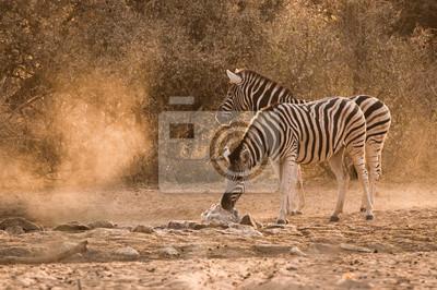 Zebra Wasserloch Sonnenaufgang