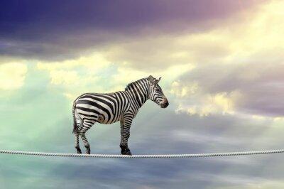 Poster Zebra zu Fuß auf einem Seil